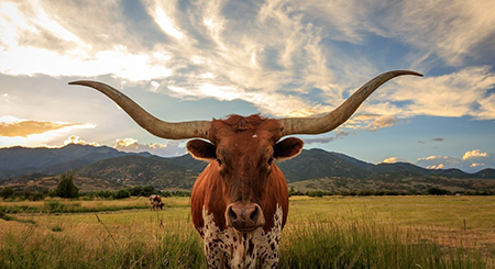 A longhorn stares straight ahead while standing in a field.
